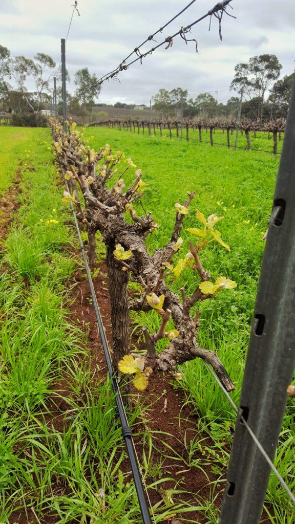 vines bud burst