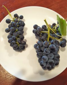 Shiraz and Grenache bunches